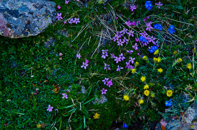 Wildflowers on Mount Adams