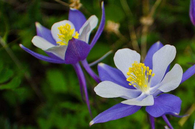 Columbine close-up