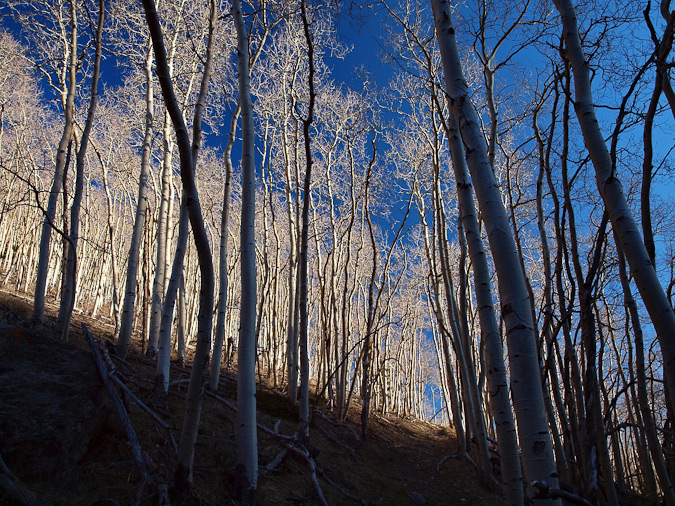 Awesome Aspen trees by Ethan Beute