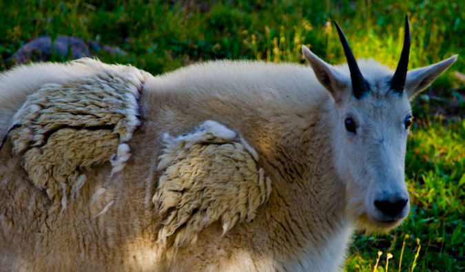 Scruffly Mountain Goat changing fur