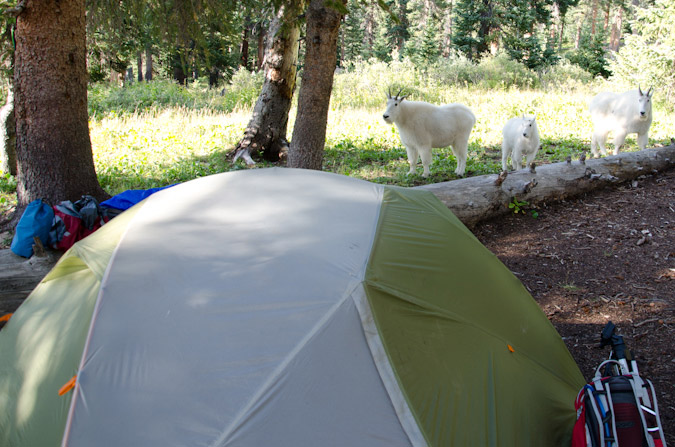 Mountain Goats at camp