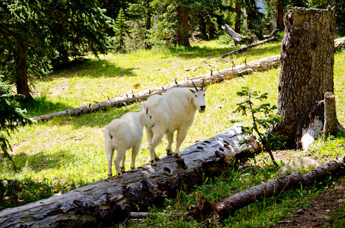Log-walking Mountain Goats