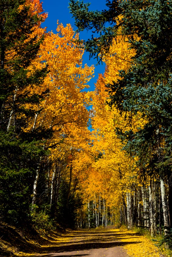 Road of changing aspen trees
