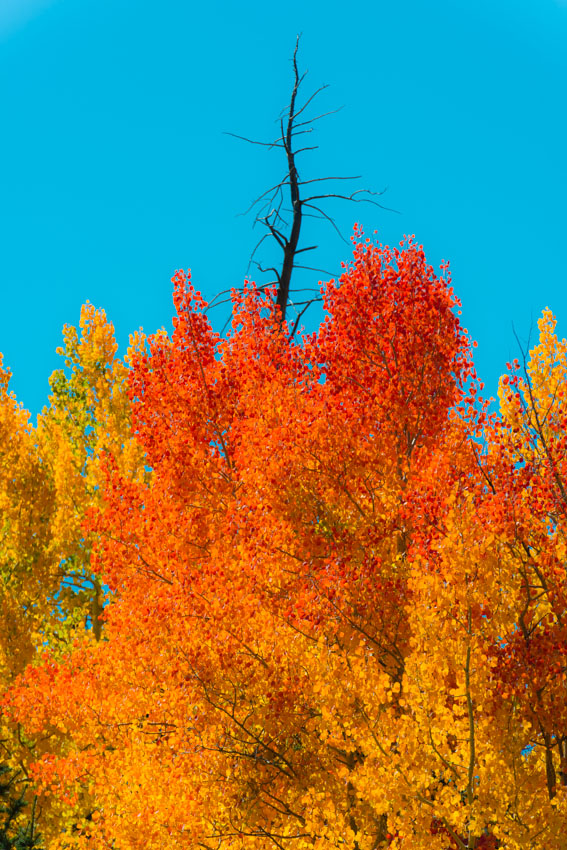 Blue skies and red and gold aspen