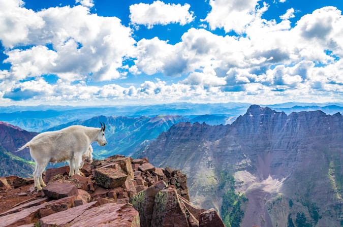 Mountain Goat peers towards Pyramid