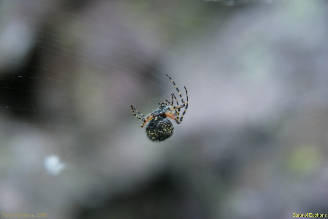 High Altitude Spider
